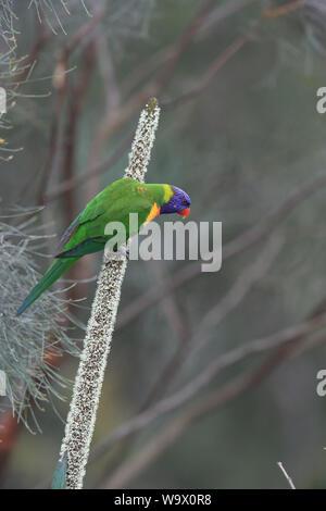 Rainbow Lorikeet, Queensland, Australia - Stock Photo