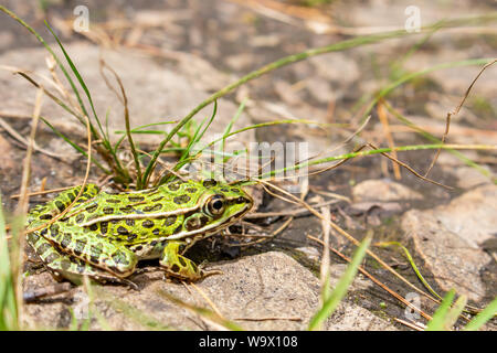 A green frog, with black spots, sits on the rocky ground amid a scattering of grass, remaining still in hopes that it is not seen. - Stock Photo