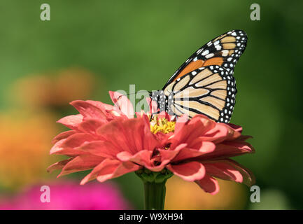 Closeup of Monarch Butterfly ( Danaus plexippus) taking nectar from Zinnia flower.