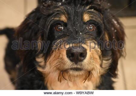 long-coated black dog - Stock Photo