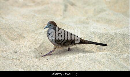 A closeup shot of a gray and brown bird on white sand - Stock Photo
