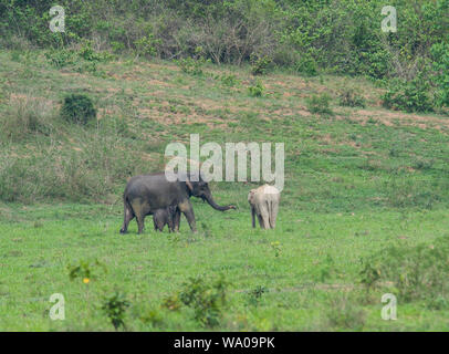 Mother and calf of a Wild Asian Elephant, Elephas maximus in the forest in Kui Buri NP Thailand - Stock Photo
