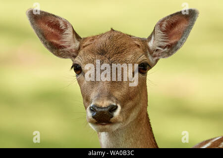 Young fallow deer close-up portrait isolated on nature background (Dama dama)