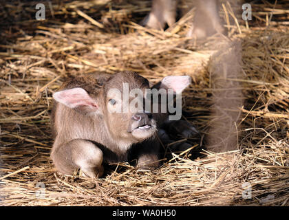 Buffalo baby sleeps on the morning sun straw - Stock Photo
