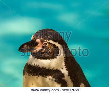Krefeler Zoo Humboldt Pinguin Spheniscus humboldti - Stock Photo