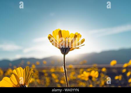 Desert Blossom Sunflowers at Sunset, Death Valley National Park, California - Stock Photo
