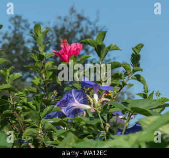 Beautiful morning glory and hibiscus flowers in the morning in Southern California - Stock Photo