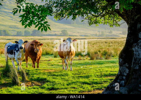 Three cows of differing colour in field looking directly to camera with mature tree framing picture - Stock Photo