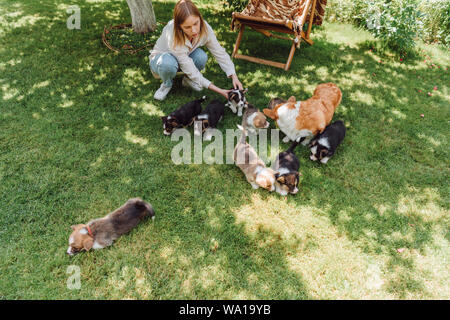 overhead view of blonde girl with welsh corgi puppies on green lawn - Stock Photo