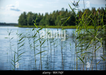 Detail of reeds plants on the shores of the calm Saimaa lake in Finland - Stock Photo