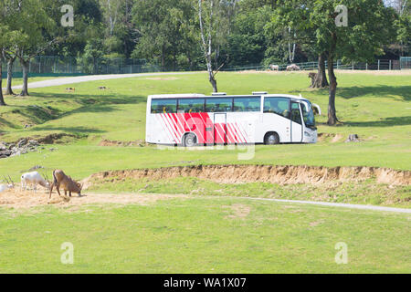Tour bus driving in zoo safari park in summer natural background, travel holiday concept. - Stock Photo