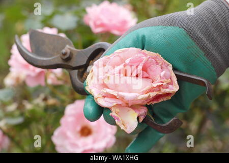 Rosa 'Silver Jubilee'. Faded rose blooms are deadheaded with secateurs to prolong flowering - summer. UK - Stock Photo