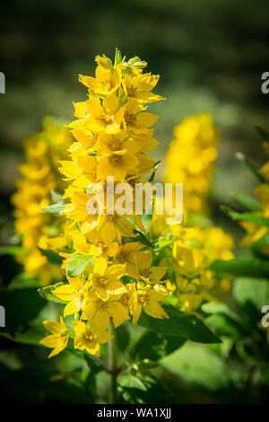 Lysimachia flowers bloomed bright yellow.Texture or background - Stock Photo
