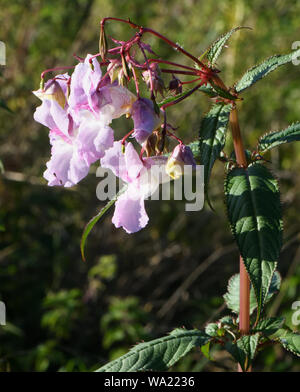 Flowers, buds and explosive seed pods of Himalayan Balsam (Impatiens glandulifera) growing amongst stinging nettles (Urtica dioica) in unusually dry s