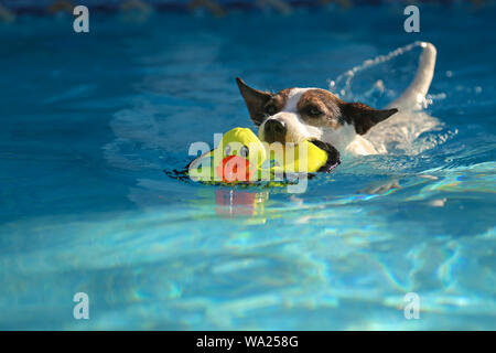 Jack Russell Terrier dog swimming outdoors with toy duck in mouth - Stock Photo