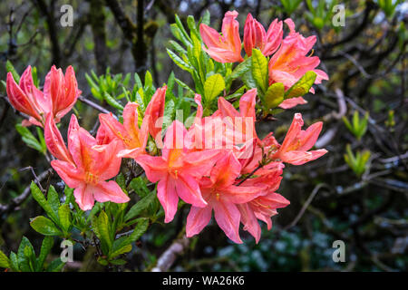 Cluster of coral pink Japanese azalea flowers close-up. - Stock Photo