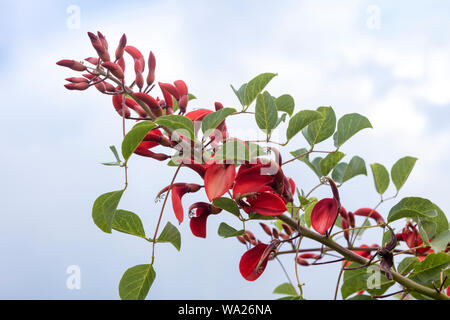 Waxy red flowers of  a flowering tree Erythrina crista-galli, also known as the cockspur coral tree. - Stock Photo