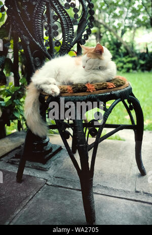 This sleepy cat resting outdoors on an old rattan chair is one of dozens of felines roaming the residence of famed author Ernest Hemingway who lived from 1931-39 at 907 Whitehead Street in Key West in the Florida Keys, Florida, USA. Many of these descendants of Hemingway's furry pets are polydactyl cats that have six toes instead of the usual five toes on their front paws and four toes on the back paws. These unusual animals can be seen by visitors at the privately-owned Hemingway House, which was built in 1851 and now is a U.S. National Historic Landmark open daily for tours. - Stock Photo