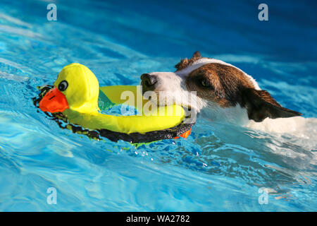 Jack Russell Terrier dog swimming outdoors with yellow toy duck in mouth - Stock Photo