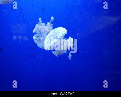 A white jellyfish swimming through deep blue tropical sea water. - Stock Photo