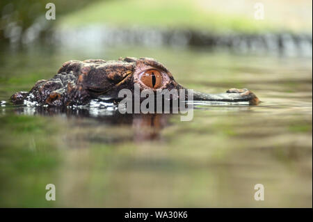 Beautiful close-up portrait of young caiman in water. - Stock Photo