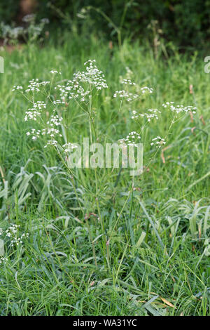 Shepherds purse Lawn weed - Stock Photo