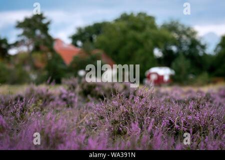 Typical german heather landscape with purple erica plants in full bloom near Pritzen, Brandenburg, Germany - Stock Photo