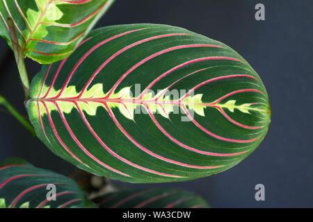 Close up of strikingly marked exotic 'Maranta Leuconeura Fascinator Prayer Plant' leaf with red veins - Stock Photo