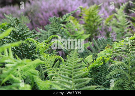 Heather and ferns in close up - Stock Photo