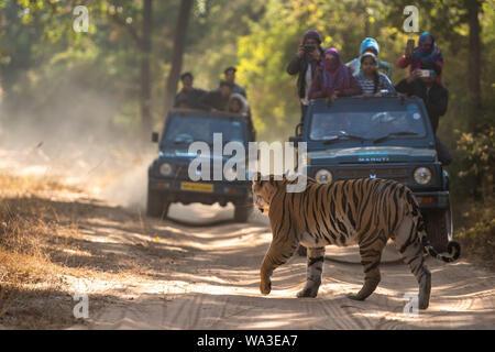 A Female Bengal Tiger marking his territory. Image taken during a safari at Bandhavgarh national park in the state of Madhya Pradesh in India. - Stock Photo