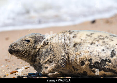 Cute baby seal relaxing on a beach in Rhode Island. - Stock Photo