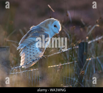 Barn Owl Tyto alba sat on a fence with barb wire back lit in the evening sun on a Peak District moorland - Stock Photo