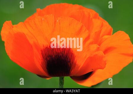 Blüte vom roten Mohn (Papaver rhoeas) im Sonnenlicht