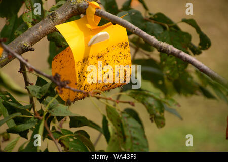 insect trap in the tree, Yellow sticky insect trap hanging on the cherry tree - Stock Photo