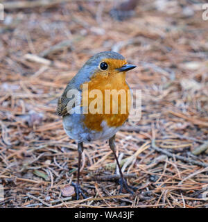 European robin Erithacus rubecula small bird commonly known as the robin redbreast - Stock Photo