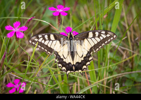 Swallowtail butterfly (Papilio machaon) feeding on carthusian pink (Dianthus carthusianorum)