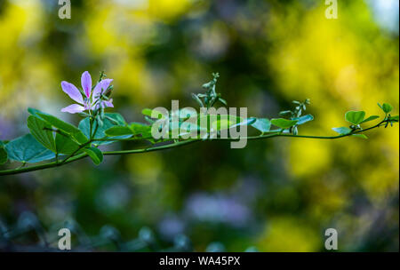 lush purple fragil flower is growing on a branch with green leaves in a blurred light - Stock Photo