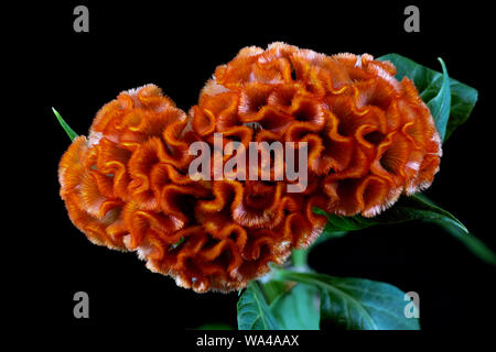 Cockscomb Flower also known as Wool Flower or Brain Celosia - Stock Photo