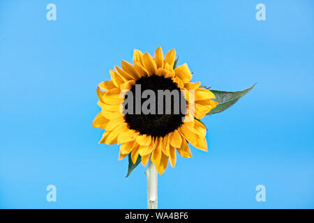 Creative photograph of a single Sunflower flower pictured against a bright blue background like the sun shining in a blue sky - Stock Photo