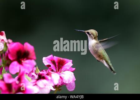 A delightful little hummingbird hovers over bright pink Martha Washington Geraniums - Stock Photo