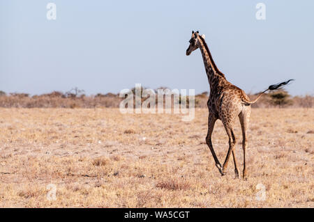 Closeup of a Galloping Giraffe on the plains of Etosha National Park, in Northern Namibia. - Stock Photo