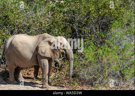 One adult Desert Elephant -Loxodonta Africana- browsing along the Honaib River in North-Western Namibia. - Stock Photo