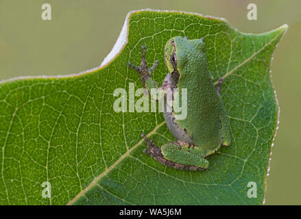 Common Gray Tree Frog (Hyla versicolor) resting on Common Milkweed leaf (Asclepias syriaca), Eastern USA, by Skip Moody/Dembinsky Photo Assoc - Stock Photo