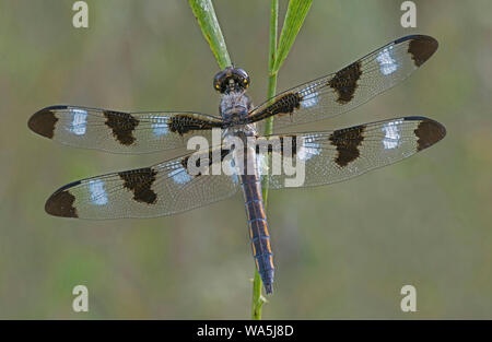 Twelve-spotted Skimmer (Libellula pulchella), male, Eastern North America, by Skip Moody/Dembinsky Photo Assoc - Stock Photo