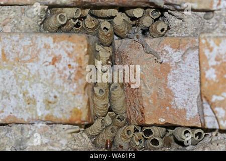 mud wasp or mud dauber or dirt dauber Latin Sceliphron caementarium wasp nests between brickwork in an old building in central Italy - Stock Photo