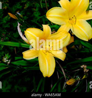 Yellow Tree Lily - Stock Photo