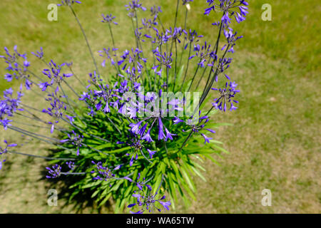 A potted Agapanthus during the height of an English summer in full bloom - Stock Photo