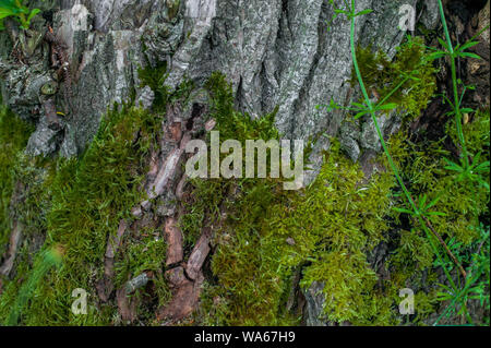 Texture of an old tree covered with moss - Stock Photo