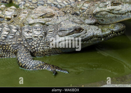 Young Crocodile resting in water in Crocodile Park, Uganda - Stock Photo