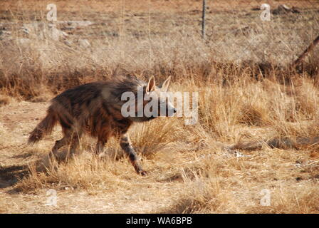 A lone Striped Hyena in South Africa - Stock Photo
